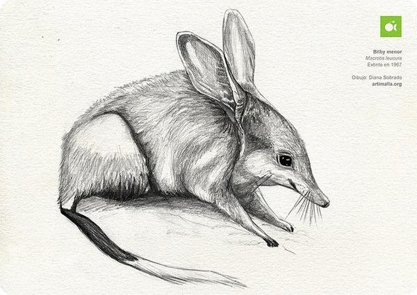 дикое животное, яллара, кроличий бандикут