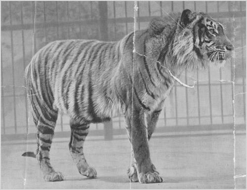 дикое животное, тигр