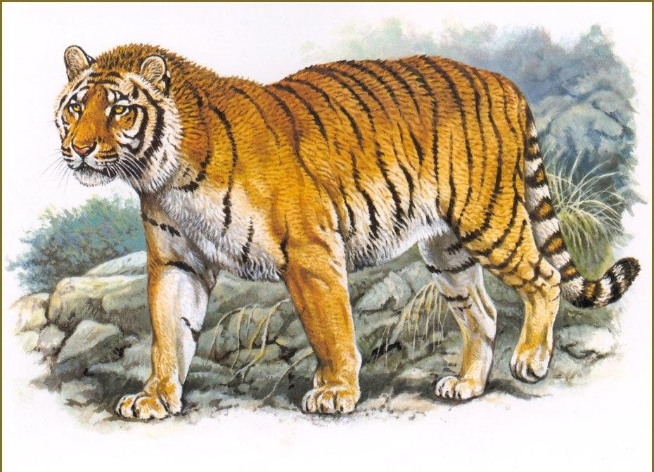 тигр, дикое животное