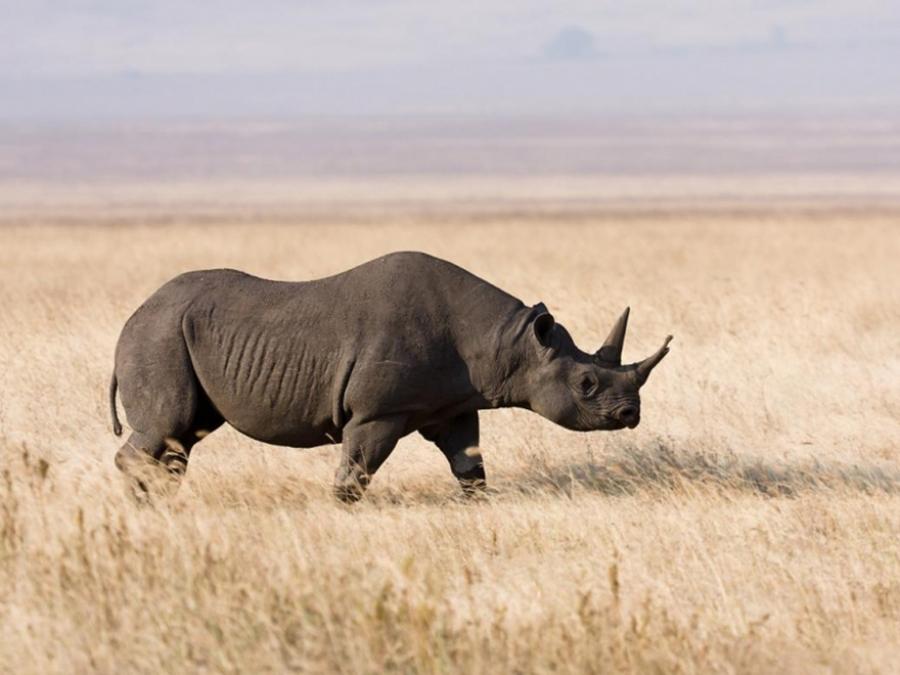 дикое животное, носорог