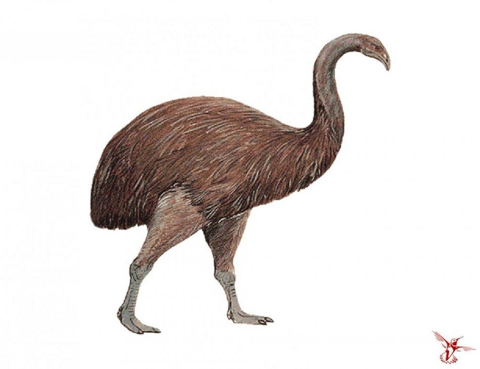 дикое животное, птица, моа