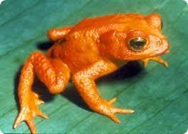 дикое животное, золотая лягушка