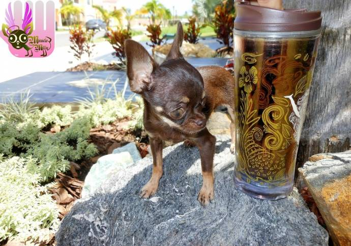 собака,пес,домашнее животное,чихуахуа