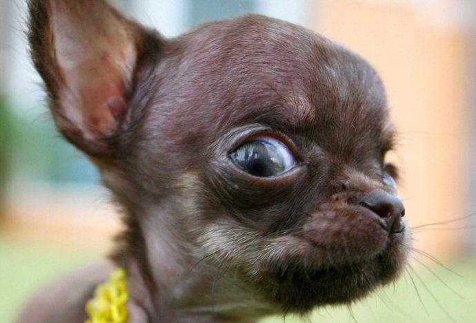 собака.пес,домашнее животное,чихуахуа,клонирование