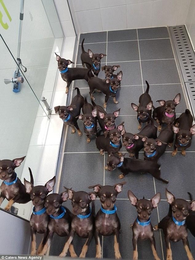 собака.пес,клонирование,щенки,чихуахуа