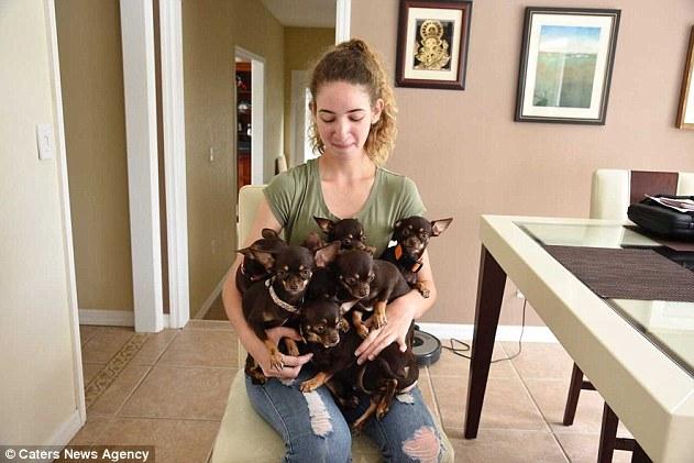 пес,собака,домашнее животное,щенки,клонирование,чихуахуа,девушка
