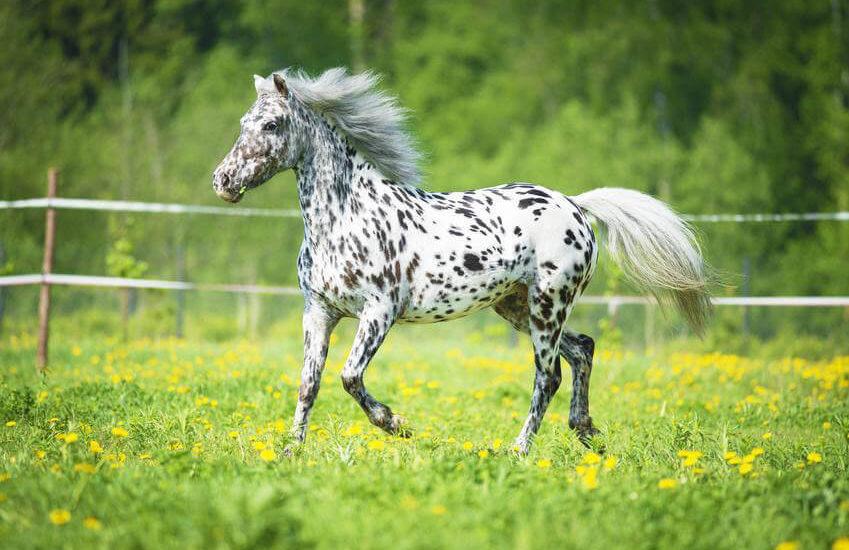 Лошадь породы аппалуза фото