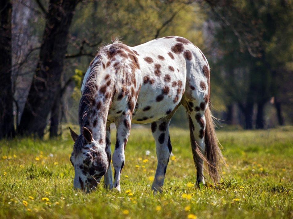 Лошадь породы аппалуза пасется фото