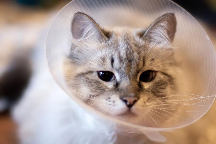 Кошка в воротнике после стерилизации фото