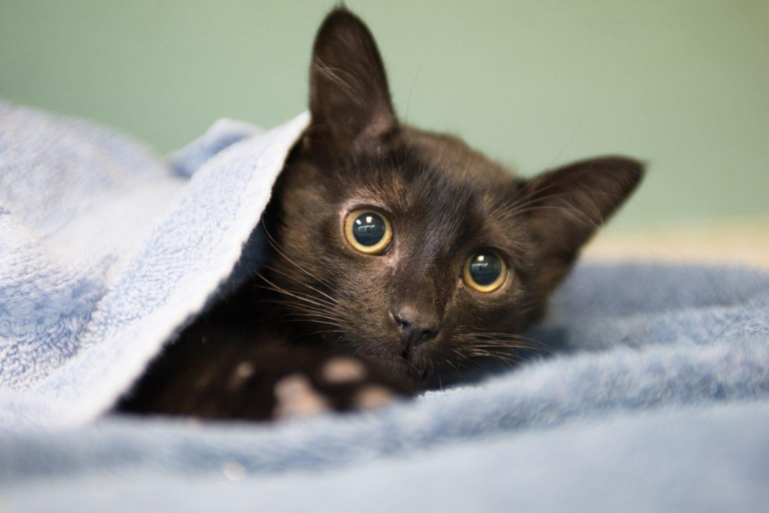 Стерилизация кошки: виды, методы, плюсы и минусы, послеоперационный уход и выздоровление