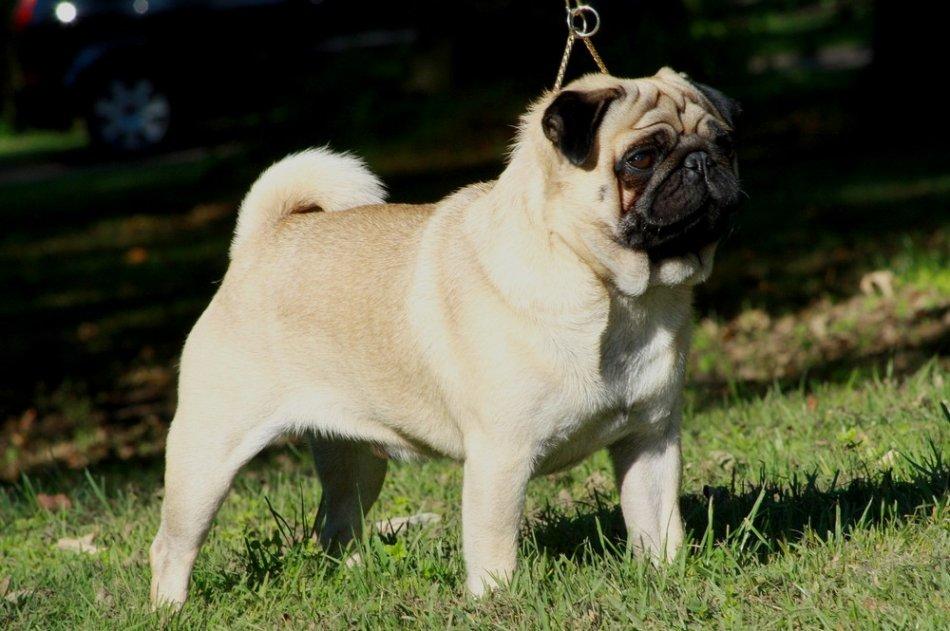 Собака породы мопс на траве фото