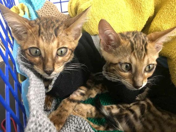 кот,кошка,домашнее животное,бенгальские кошки,требуется помощь