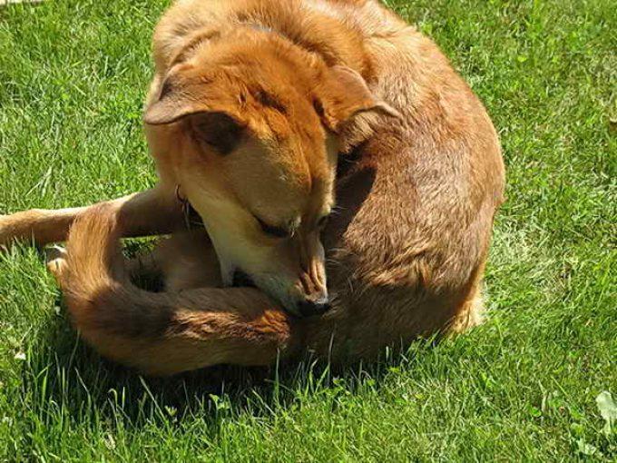 Собака грызет хвост фото