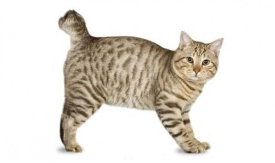 Кошка породы бобтейл японский фото