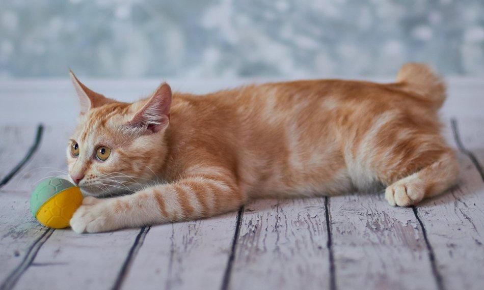 Японский бобтейл кошка фото