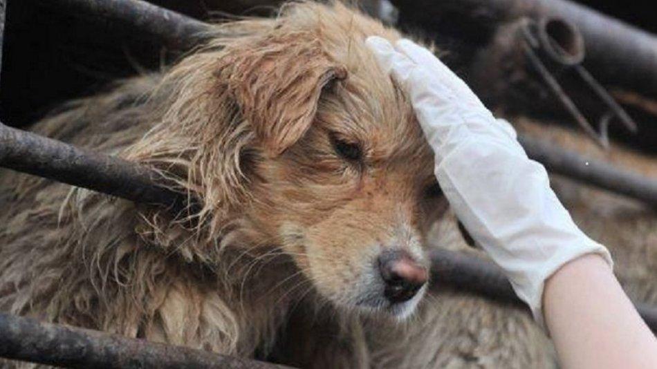 Фестиваль собачьего мяса в Китае фото