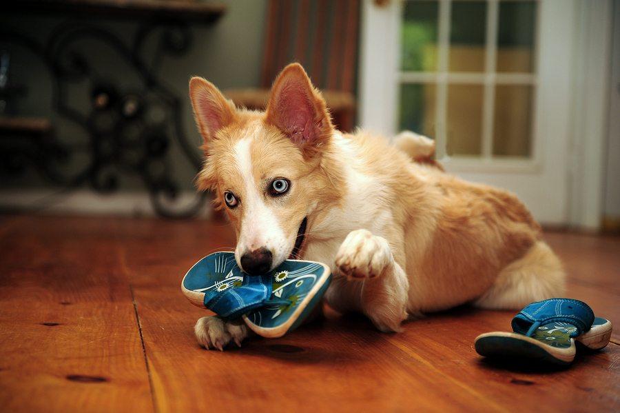 Собака грызет обувь фото