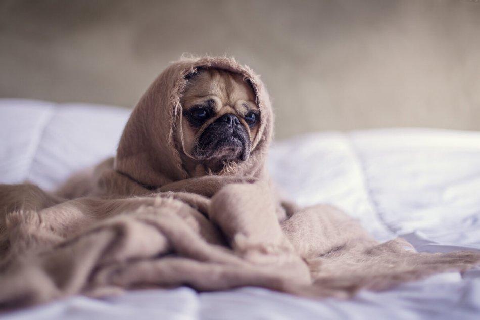 Собака прячется в одеяло фото