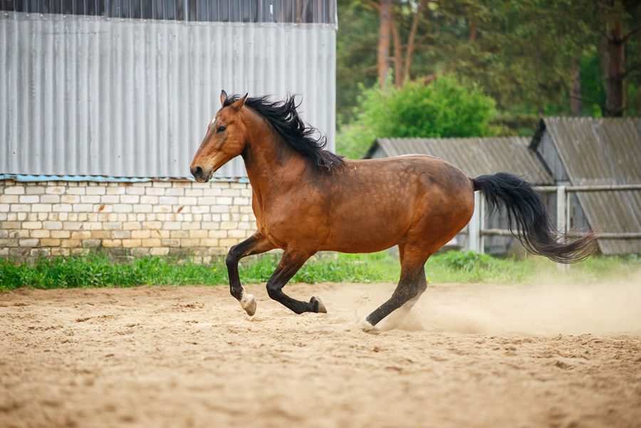 Гнедая лошадь скачет фото