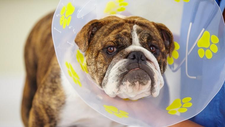 Собака в послеоперационном воротнике фото