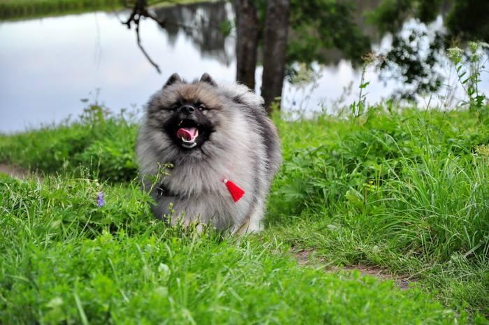 Кеесхонд бежит по траве фото