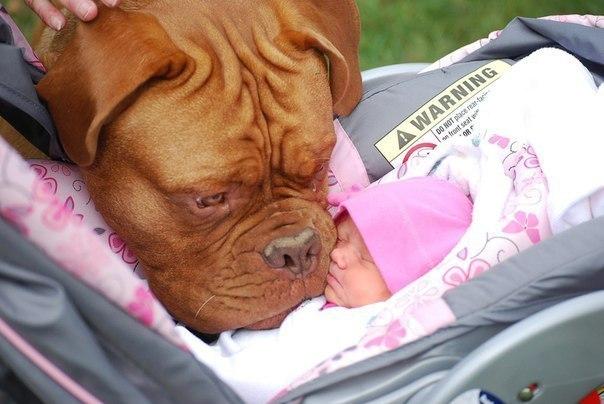 Бордоский дог и ребенок фото
