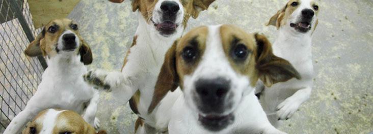 Собаки в опытах над животными