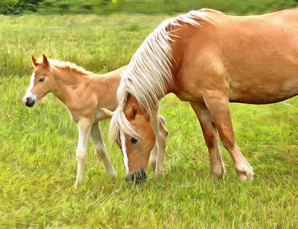 Лошадь породы хафлингер с жеребенком фото