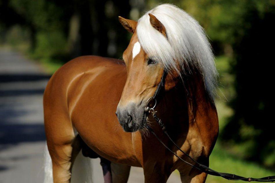 Лошадь породы хафлингер фото