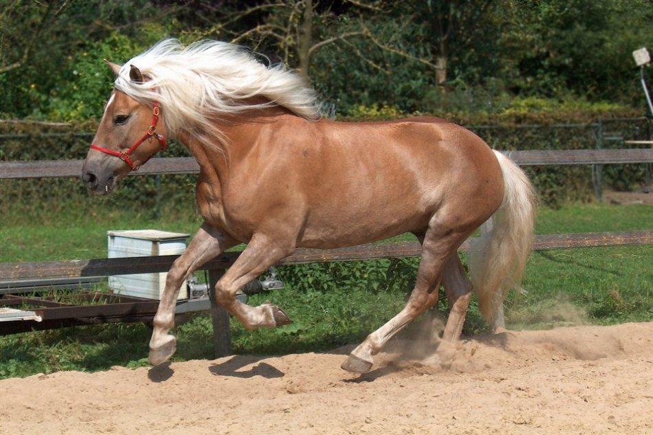 Лошадь хафлингер фото