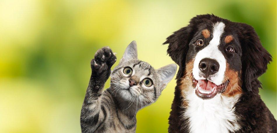 кот, собака, бернский зиненхунд