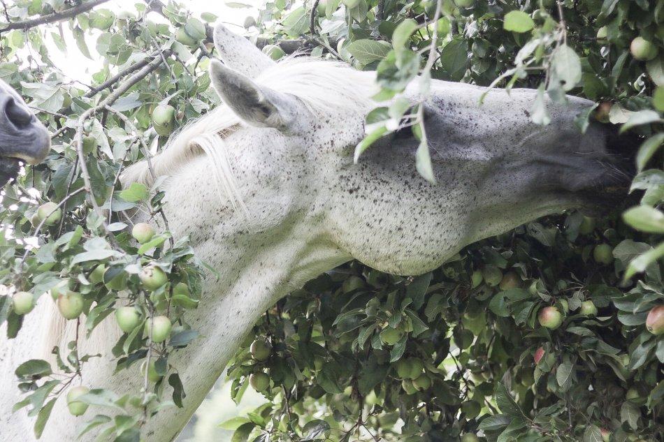 Серая в гречку лошадь ест яблоки с яблони фото