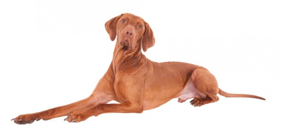 Собака породы венгерская выжла лежит фото