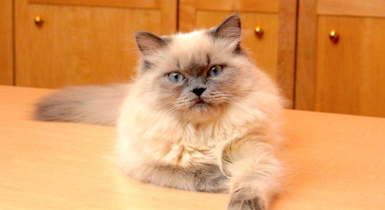 Гималайская кошка лежит фото