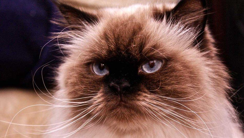 Гималайская кошка фото