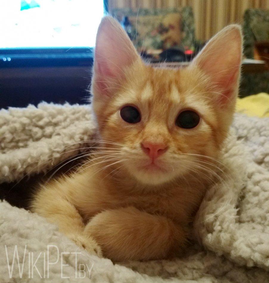 рыжий котик с большими глазами