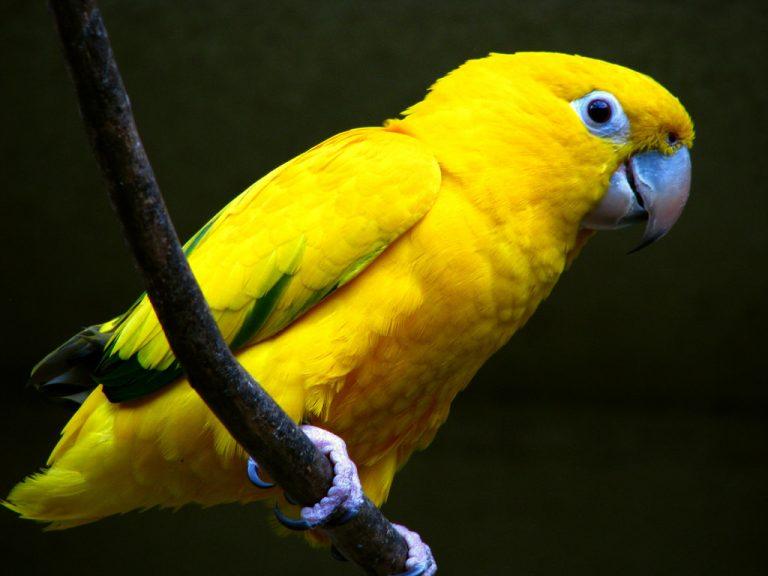 Попугай аратинга фото