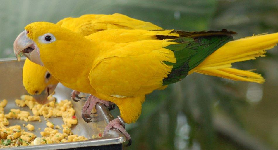 Попугаи золотая аратинга фото