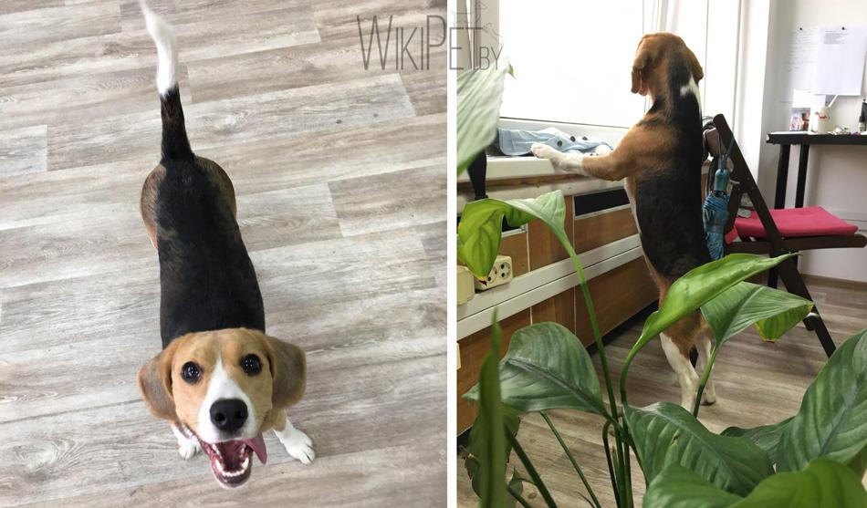 бигль собака фото