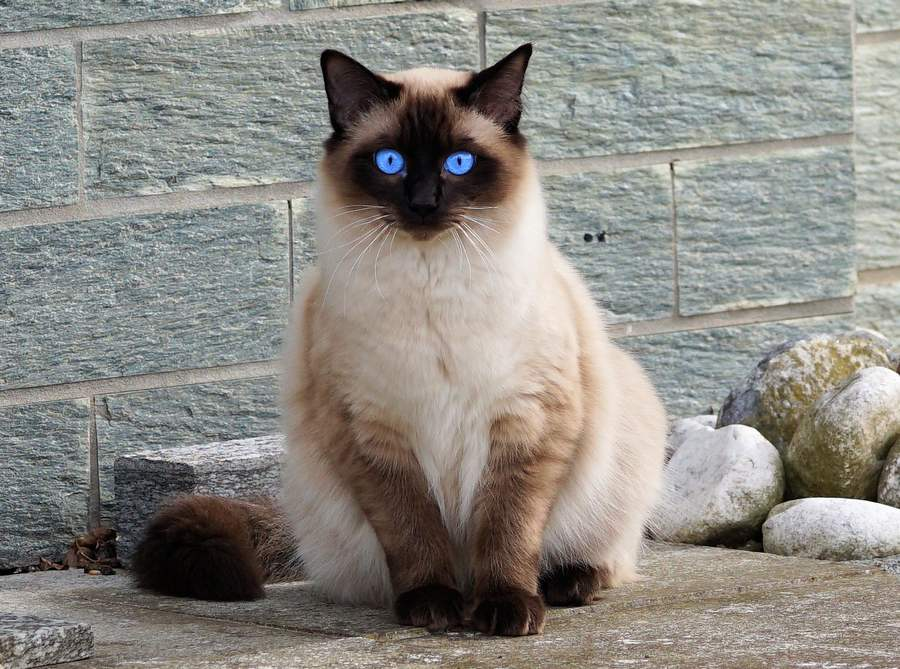течка у кошки фото