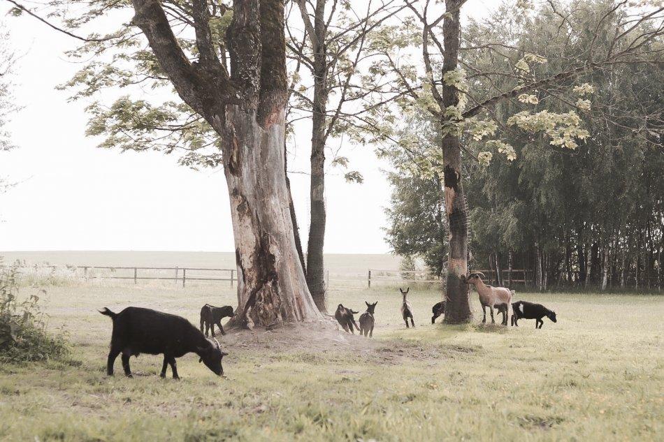 Камерунские козы пасутся фото