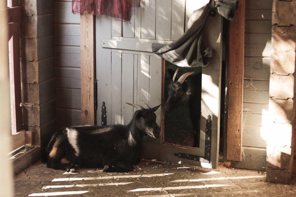 Камерунские козы в домике фото