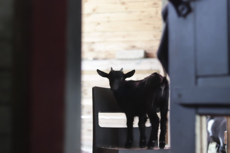 Камерунский козленок стоит на стуле фото