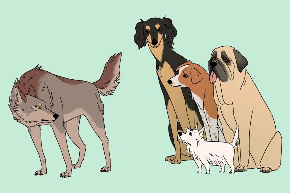 Волк и собаки фото