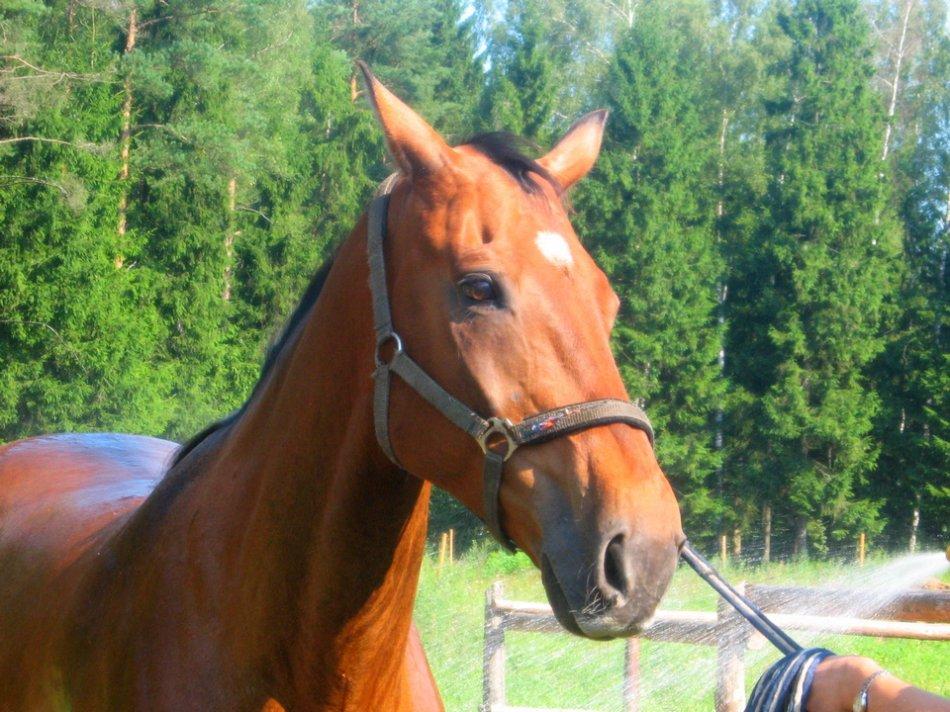 Гнедая лошадь со звездочкой фото