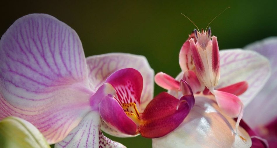 Орхидейный богомол фото