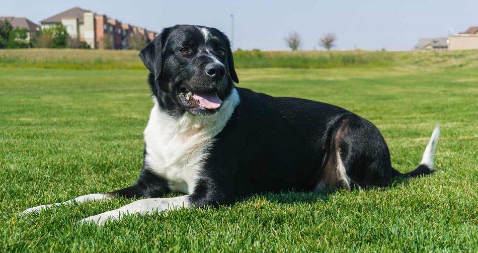 Черно-белая собака на траве