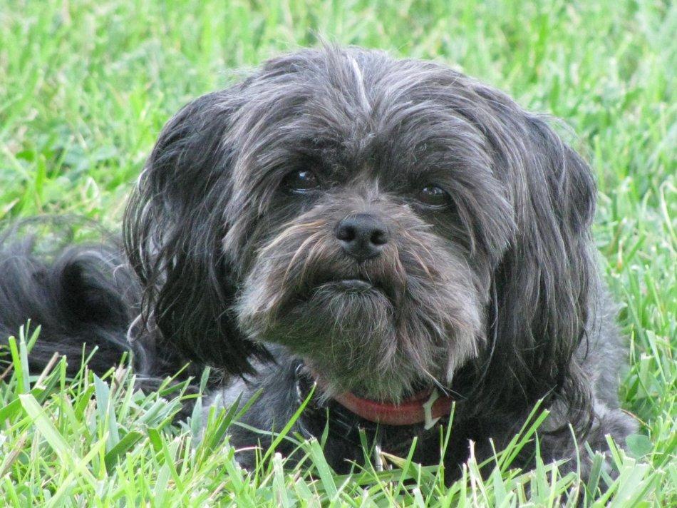 На фото: собака породы аффенпинчер