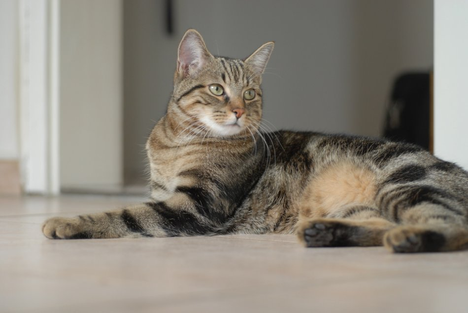 Европейская короткошерстная кошка фото