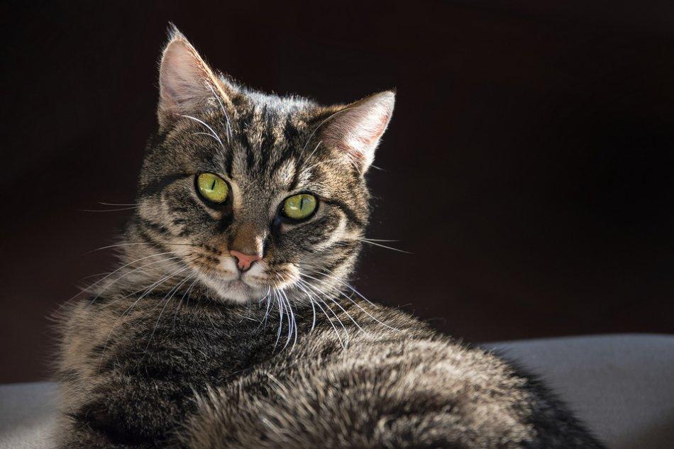 Европейская короткошерстная кошка с зелеными глазами фото